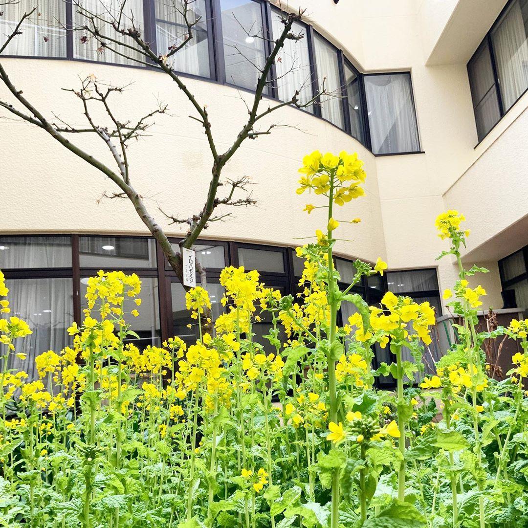 菜の花の開花と生活リハ