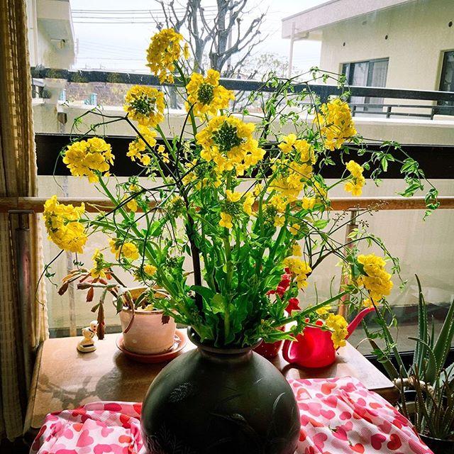 菜の花が開花しました